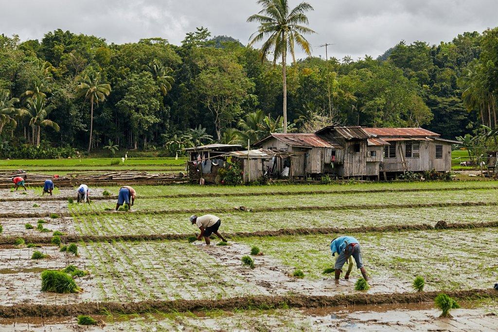 sadzenie-ryzu.jpg